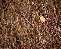 Sparrow in the early morning sunlight. Late autumn monthly Sunday walk in the park. Hobler Park, Montgomery Township, New Jersey. Image taken with a Nikon 1 V3 camera and 70-300 mm VR lens.