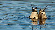 """Northern Pintail (Anas acuta) drakes """"tipping up"""" to feed at Baskett Slough National Wildlife Refuge."""