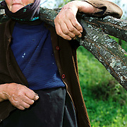An elderly Romanian peasant farmer carries tree branches home to use as firewood, Poienile Izei, Maramures, Romania