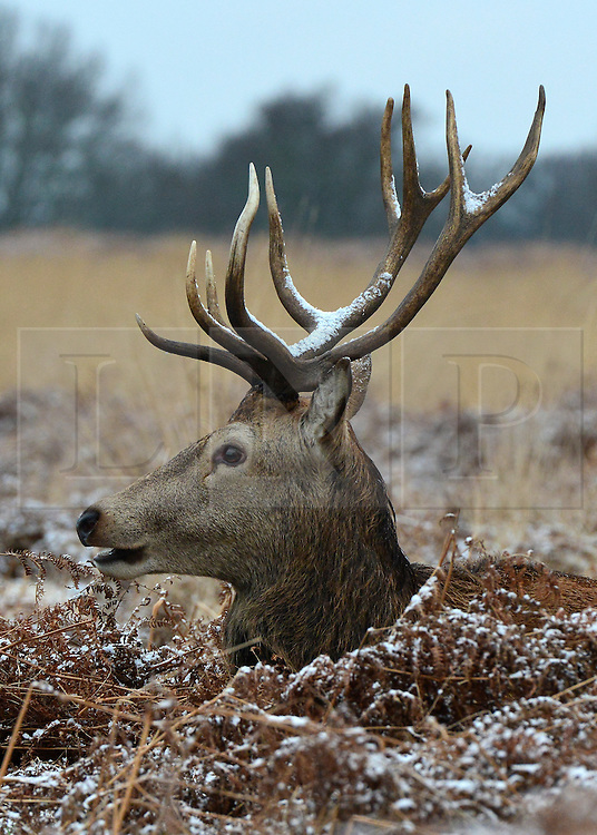 © Licensed to London News Pictures. 14/01/2013. Richmond, UK A red deer stag rests in the bracken with snow on its antlers. Deer and people in the light dusting of snow at Richmond Park this morning. Snow hits the many parts of the UK today 14th January 2013. Photo credit : Stephen Simpson/LNP