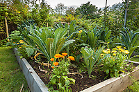 A variety of kale grows in raised beds  along with flowers in an organic garden.