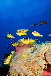 Red sea anemonefish, Amphiprion bicinctus, in magnificent sea anemone or Ritteri anemone, Heteractis magnifica, South Egypt, Red Sea