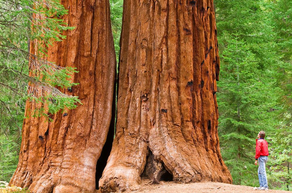 Giant Sequoias (Sequoiadendron giganteum) and hiker, Trail of 100 Giants, Giant Sequoia National Monument, California