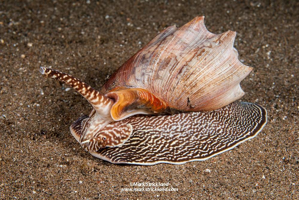 Proboscis raised, a Bat Volute, Cymbiola vespertilio, glides across a sandy bottom. Dauin, Negros, Visayan Sea, Philippines, Pacific Ocean