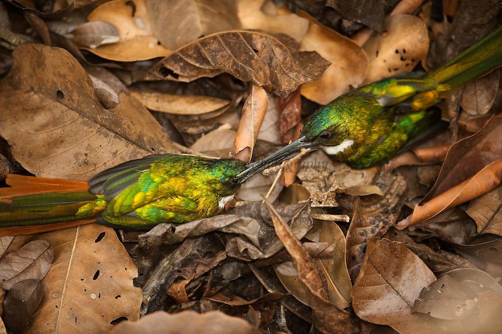 Rufous-tailed Jacamar (Galbula ruficauda)<br /> Rupununi<br /> GUYANA<br /> South America<br /> RANGE: Southern Mexico, Central America and South America as far south as southern Brazil and Ecuador