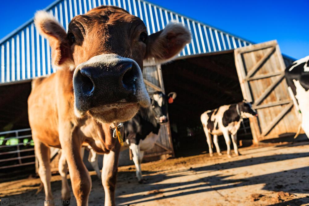 Closeup of a Jersey cow.