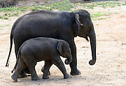 Baby indian elephant at Elephant training camp chiang; dao near Chiang Mai,  Thailand, Oct 2005