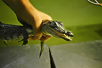 """Created by Luc Fougeiroles in 1994, this farm, heated by heat recovery plant  """"Eurodif"""" receive more than 350 crocodiles (9 different species).<br /> Since 1998, a research laboratory has been added to the Crocodile Farm, and ten giant tortoises from the Seychelles, a protected species, joined the crocodiles. They are 30 years old and weight from 80 to 150 kilos each.<br /> Even if in the wild, turtles are a delightful meal for the crocs, here that's not a problem at all....<br /> More info in the blog"""