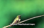 01162-070.11 (MW) Ruby-throated Hummingbird (Archilochus colubris) male on perch  Shelby Co.  IL