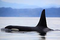 Killer whale in Johnstone Strait, BC, Canada