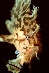 sargassumfish.Historio historio.Hawaii (Pacific).