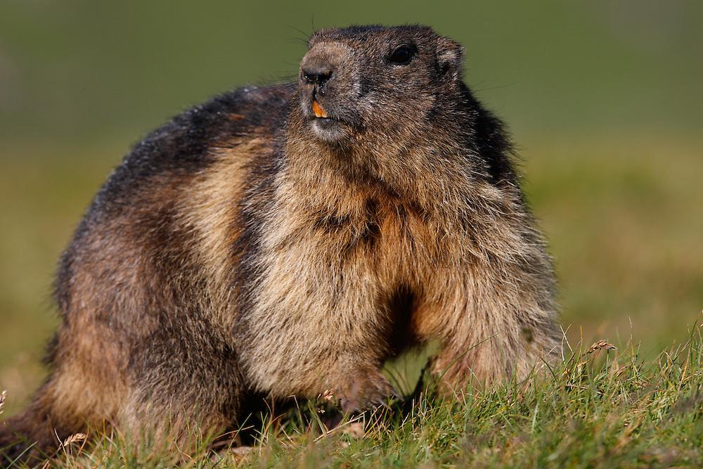 Alpine Marmot (Marmota marmota), Hohe Tauern National Park, Carinthia, Austria
