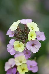 Wallflower 'Plant World Lemon'. Erysimum
