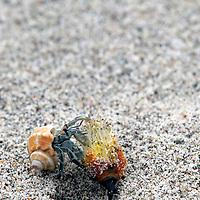 Central America; Costa Rica, Pacific Coast. Hermit Crab close-up.