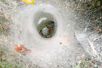 ARANA LOBO (Aglaoctenus lagotis, fam. Lycosidae) CON HUEVOS EN EL ABDOMEN EN SU MADRIGUERA DE TELA CON FORMA DE EMBUDO, PARQUE NACIONAL EL PALMAR, ARGENTINA<br /> <br /> Ragno lupo (Aglaoctenus lagotis - fam. Lycosidae) nella propria tana di tela a forma di imbuto, Argentina