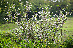 Malus 'Discovery' in blossom at Glebe Cottage. Apple tree