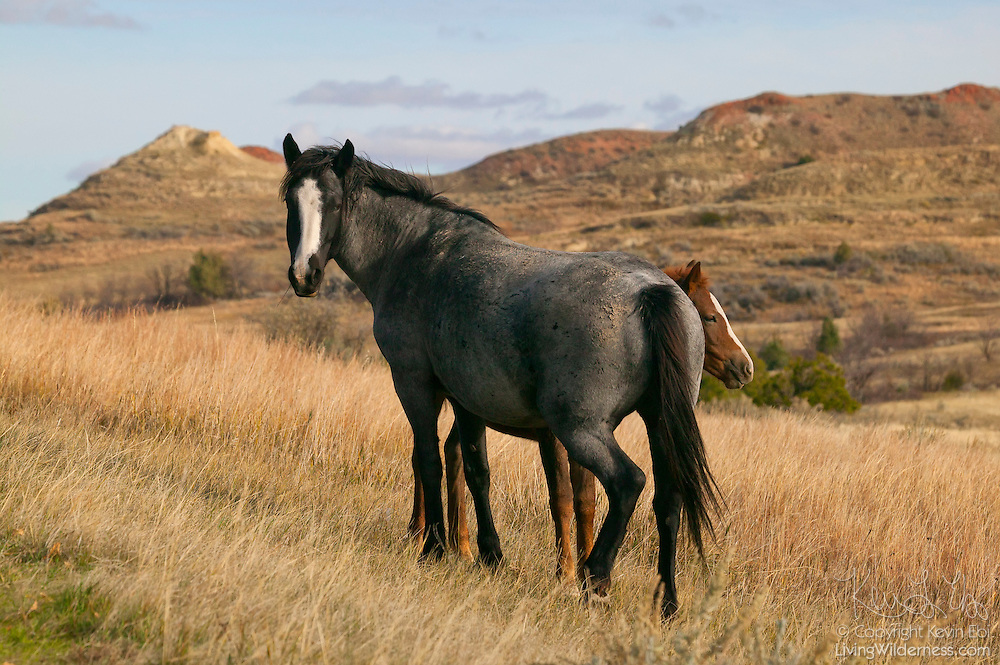 A young feral horse (Equus caballus) hides behind another in Theodore Roosevelt National Park in North Dakota. Wild horses have been found in the badlands of western North Dakota since the middle of the 19th century; approximately 100 now live in Theodore Roosevelt National Park.