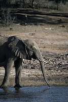 A Kalahari Elephant calf drinking on a riverbank in Chobe National Park Botswana