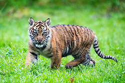 © Licensed to London News Pictures. 21/12/2017. Kirby Misperton UK. A Tiger cub born in August has taken her first steps outside today at Flamingo Land zoo in Yorkshire. The female cub is so far un-named & is the cub of Bawa & Surya. The new arrival was the culmination of seven years of hard work by Flamingo Land animal carers in their attempts to protect the critically endangered species. Photo credit: Andrew McCaren/LNP