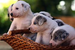 Uma ninhada de filhotinhos em um cesto de vime. FOTO: Jefferson Bernardes/Preview.com