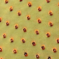 USA, California, San Diego County. Beavertail Cactus in Anza-Borrego Desert State Park.