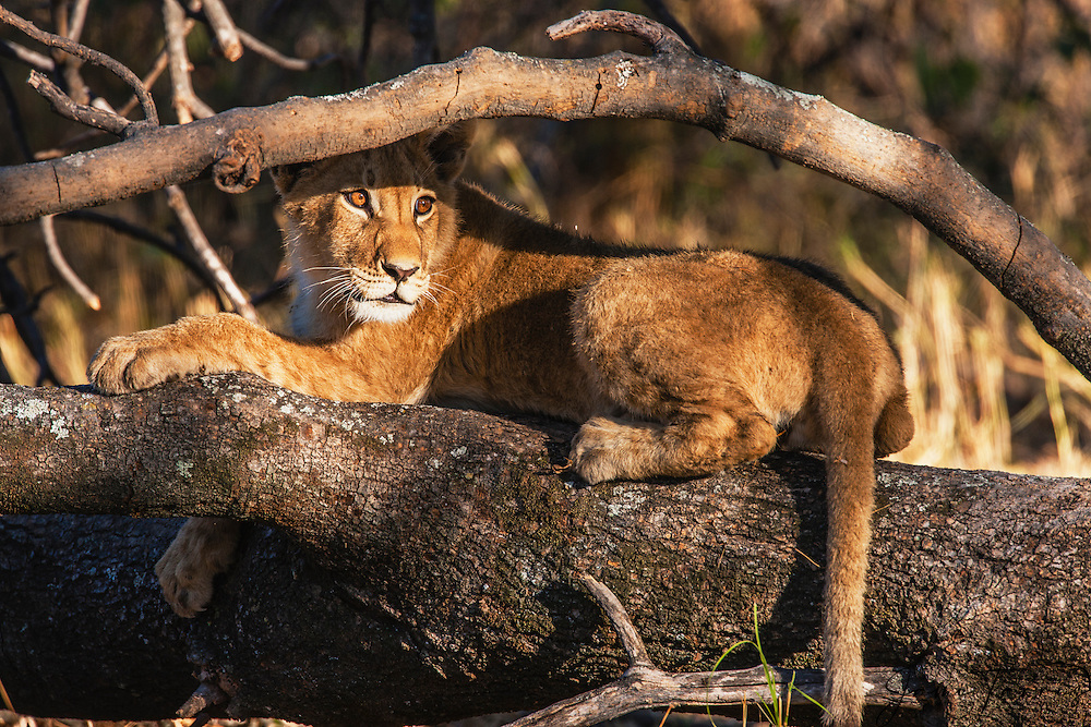 A lion cub (Panthera leo) looking for his mother and laying on a tree branch, Moremi Game Reserve, Botswana, Africa