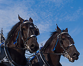 2013 September Draft Horses