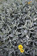 Brittlebush (Encilia farinosa) Anza Borrego Desert State Park, California, USA