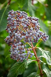 The fruit of Fuchsia paniculata AGM