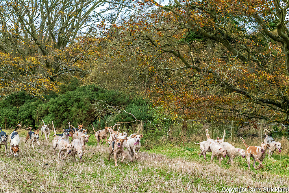 Ancrum, Jedburgh, Scottish Borders, Scotland, UK. 28th October 2020. The Duke of Buccleuch's foxhounds flushing foxes to guns from small blocks of woodland near Ancrum in the Scottish Borders.