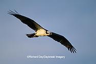 00783-01113 Osprey (Pandion haliaetus) male in flight    FL