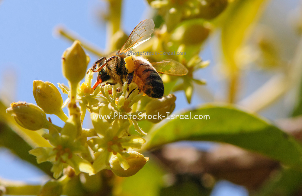 Honey bee collects nectar from blossoms in an avocado Plantation. Photographed in Israel in March