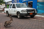 Brown Pelican in the street (Pelecanus occidentalis urinator)<br /> Puerta Ayora, Santa Cruz Island, GALAPAGOS ISLANDS<br /> ECUADOR.  South America<br /> These birds are relatives of the frigate birds. However they use their pouches for trapping water and with luck some fish. Brown pelicans are the smallest of the family and the only pelicans which are truly marine and also together with the Peruvian pelicans that plunge-dive to catch their food. They nest in scattered colonies throughout the archipelago. Breeding occurs in any month, although particular colonies are synchronised.