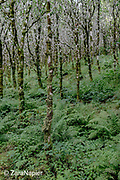 Betula - Silver Birches with ferns in the Tree Sponsorship Area (17 on map) just outside the west wall of The Victorian Walled Garden at Kylemore Abbey. Only plants and flowers that were introduced to Ireland before 1901 are used in the gardens. The 6 acre garden is to the west of the Abbey originally known as a castle when it was built by Mitchell and Margaret Henry in the 1850's. The garden is on a south slope at the foot of Duchruach Mountain and facing Diamond Hill. It was chosen as the warmest and brightest spot on the estate with a mountain stream providing water. It is now a Benedictine community; open seven days a week all year round. The Abbey is located in Connemara in the west of Ireland. August