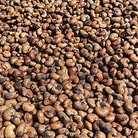 Cashew nuts spread on the ground for drying in Ranong.