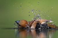 Hawfinch (Coccothraustes coccothraustes) Pusztaszer Nature Reserve, Hungary