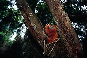 Being omnivorous animals Golden Lion Tamarins feel in wood crevices or remove pieces of bark in search of insects. | Als Allesfresser suchen Löwenäffchen häufig in Spalten oder unter Baumrinde nach Insekten.