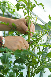 Stopping a tomato plant by cutting off its leading shoot or growing tip with a penknife in order to encourage fruit development