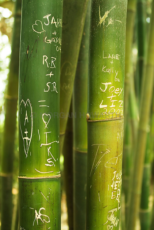 Bamboo graffiti on giant bamboo stalks in Selby Gardens in Sarasota Florida giant timber bamboo