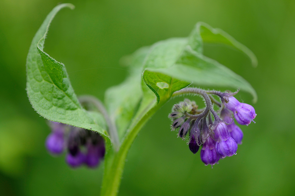 Comfrey, Symphytum officinale, in the Tarcu mountains nature reserve, Natura 2000 area, Southern Carpathians, Romania. The release was actioned by Rewilding Europe and WWF Romania in May 2014.