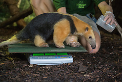 © licensed to London News Pictures. London, UK 21/08/2013. A tree tamandua called Tammy weighs 6.8kg at ZSL London Zoo's annual weigh-in on Wednesday, 21 August, 2013. Photo credit: Tolga Akmen/LNP