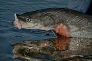 Alaska. Kobuk River. Man with Sheefish / Inconnu (Stenodus leucicthys).