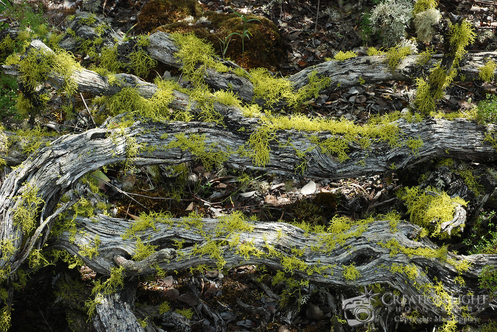 Lichen Growth on Dead Branches on Lower Table Rock, which is one of two prominent volcanic plateaus located just north of the Rogue River in Jackson County, Oregon. Shaped by erosion, they now stand about 800 feet (240 m) above the surrounding Rogue Valley