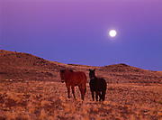 Full moon rising beyond Navajo horses, dusk near Bidahochi, Navajo Reservation, Arizona.