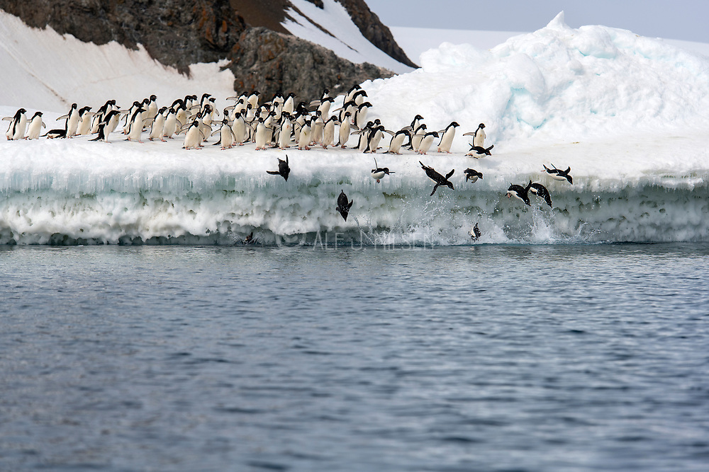 Adelie penguins (Pygoscelis antartica) throw themselves into the ocean to hunt for fish. Kinnes Cove, Paulet island, Antarctica.
