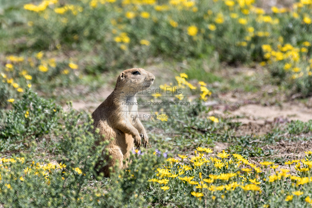 A black tailed prairie dog on the lookout at the entrance to the colony burrow in the Rocky Mountain Arsenal National Wildlife Refuge in Commerce City, Colorado.