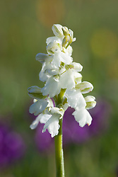 Green Winged Orchid (white form). Orchis morio, Anacamptis morio