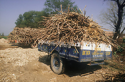 Trailers loaded with sugar cane in field in Rajasthan; India,