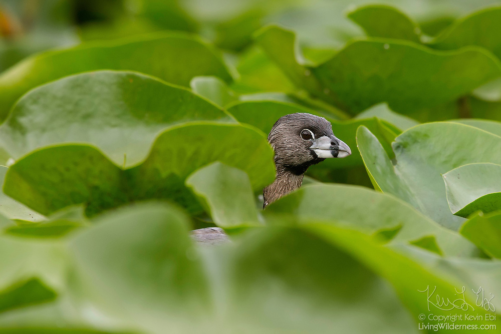 A Pied-Billed Grebe (Podilymbus podiceps) hides among the lily pads in the wetlands of the Washington Park Arboretum, Seattle, Washington.