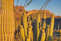 Organ Pipe Cactus National Monument Arizona